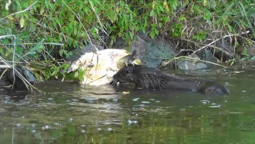 鳄龟的天敌终于出现,碰上这种动物,连壳子都直接吃掉!