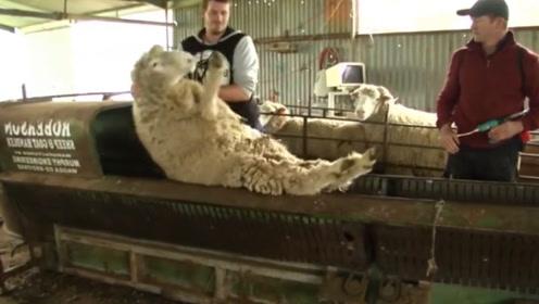 一群羊被赶进狭窄的空间,看到饲养员的动作,羊:这是人干的事儿吗