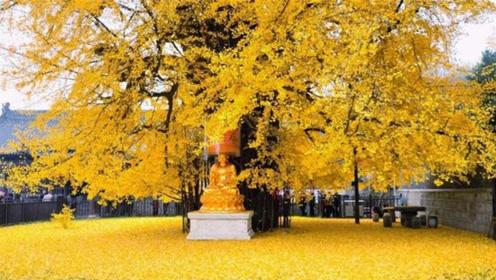 李世民当年亲手种下的银杏树,已经存活了1400年,现在长这样