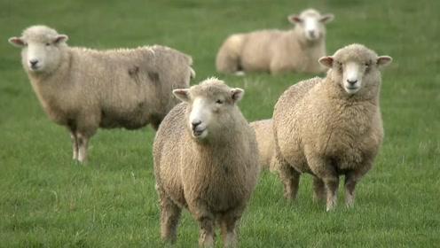 """为了减少排放 新西兰拟培育""""放屁少的羊"""""""