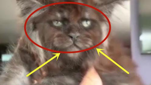 """前方高能!俄罗斯专家培育出""""人脸猫"""",吓出一身冷汗!"""