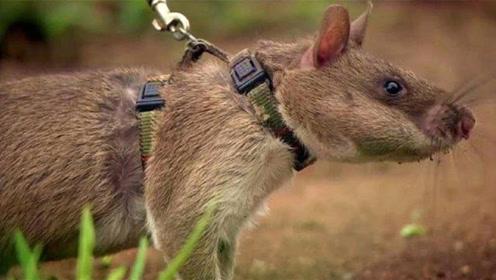 世上最大的老鼠,每年拯救上千条人命,人们称为英雄鼠!