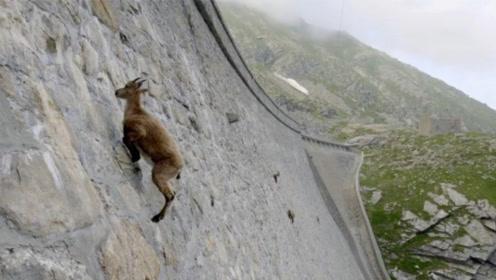 """山羊也能飞檐走壁?世界最强的山羊,人送外号""""轻功大侠""""!"""