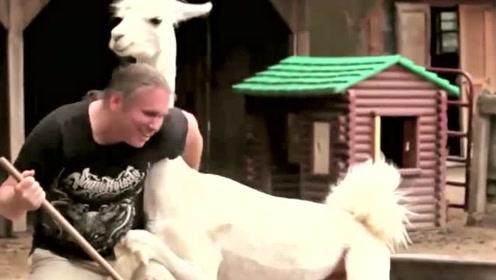 饲养员给羊驼剪了毛,不料从此之后再无安宁之日,网友:干得漂亮!