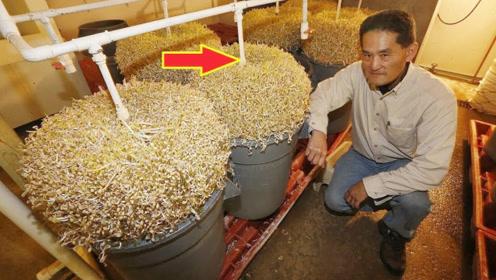 日本豆芽1斤卖到140元?实拍日本农民发豆芽,才明白贵是有道理的