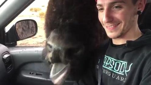 贪吃的野牛,居然跟着车把头伸进去要吃的,镜头记录全过程