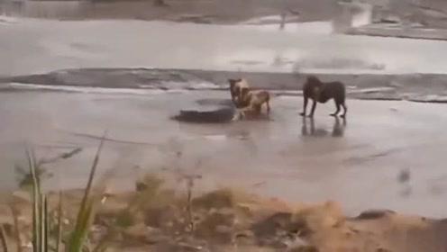 狮群围堵鳄鱼,水中霸主的战斗力超乎你的想象,这么多狮子联手都杀不了它