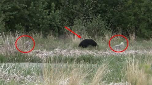 棕熊莫名其妙闯入狼群地盘,大战一触即发,结局却令人意外
