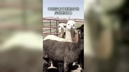 羊驼为什么会向人吐口水?