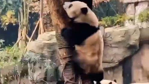 大熊猫:我快得像一阵风,你信不信?
