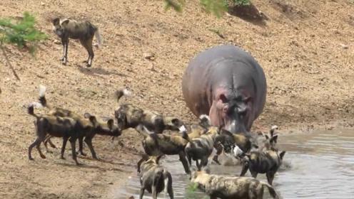 河马正在河里洗澡,不料被一群野狗给盯上了,这下有好戏看!