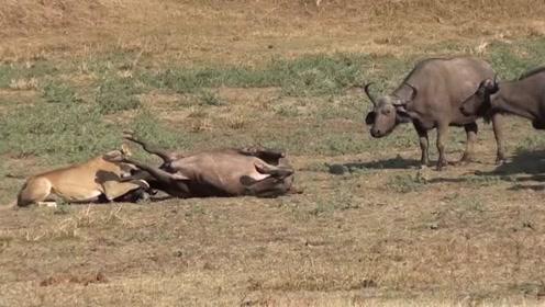 看到同伴被狮子杀害,牛群决定站在原地送它最后一程!