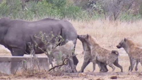 犀牛被鬣狗掏肛,站那一动不动,犀牛:吃饱了吗?吃饱了我就走了