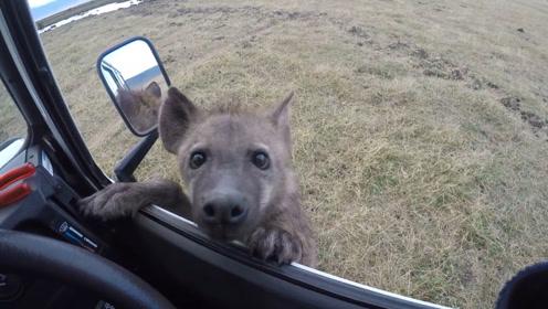 一条可怜兮兮的鬣狗向人求助,男子刚想下车,下一秒意外发生了?