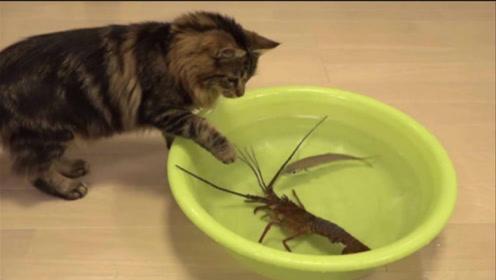 当猫咪遇到龙虾,步步紧逼之后,下一秒竟做出这种举动