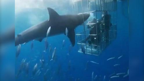 触目惊心!大白鲨攻击潜水员未果,被卡铁笼缝隙惨死在游客面前