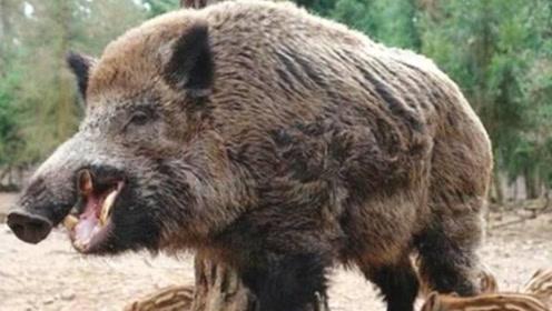 为什么美国野猪那么多,宁愿花几十亿处理也不吃?今天可算明白了