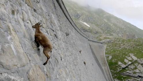 """岩羊在悬崖上""""跑酷"""",跑酷高手看了都害怕,镜头拍下全过程!"""