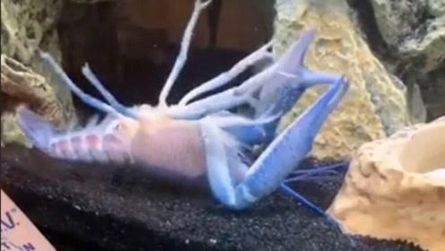 蓝色小龙虾被自己钳子卡住 疯狂抽搐无法脱身 四脚朝天当场崩溃