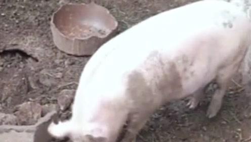 这条蛇非得去找猪单挑,下一秒做梦都没想到,居然败给了老母猪!