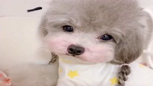 泰迪狗狗在购物袋里委屈的样子太可爱了,网友:心都要萌化了!