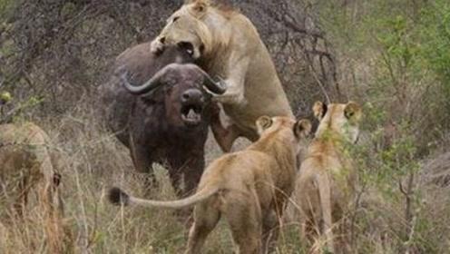 为什么有时候狮子攻击野牛时,野牛会一动不动不反抗?今天算长见识了