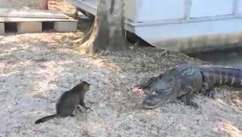 鳄鱼爬到岸上遇到猫咪,下一秒憋住别笑,猫咪:给我滚回水里去