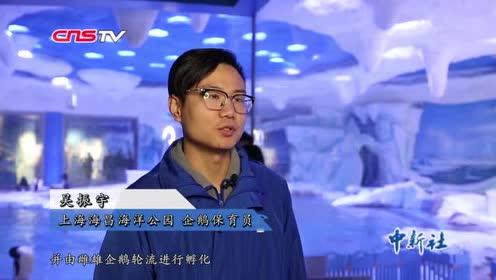 上海首只自主繁育阿德利企鹅诞生萌值爆表