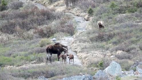 母驼鹿回家的路上感觉不对劲,回头一看,尿都被吓出来了