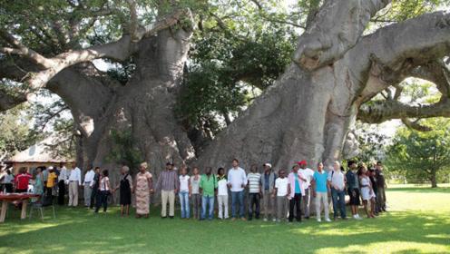 南非有一颗古老巨树走进去才发现里面是个酒吧