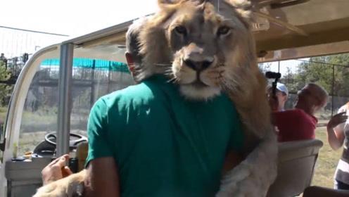 狮子窜进游览车里,瞬间化身大型猫咪,赖上游客就不走了!