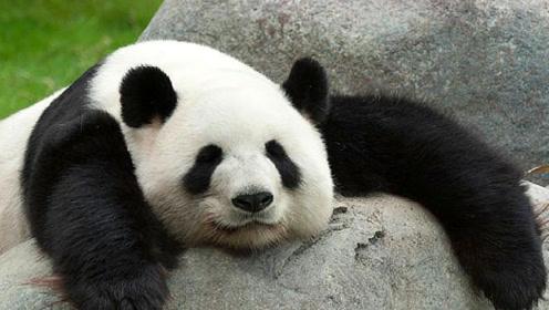 """老外有多爱大熊猫?排队摇号都要看!隔壁袋鼠都羡慕""""哭""""了"""
