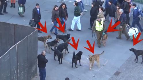 一群流浪狗围攻警犬,警犬会是什么反应?镜头跟拍全过程