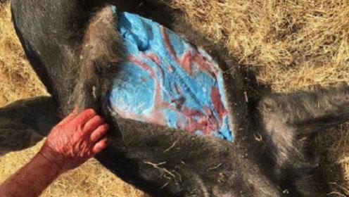 """男子野外抓到一头""""野猪"""",剖开肚子后,立马扔下刀撒腿就跑!"""
