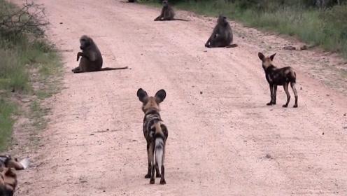 """野狗外出猎食,结果被狒狒拦路""""收费"""",野狗:惹不起还躲不起吗"""
