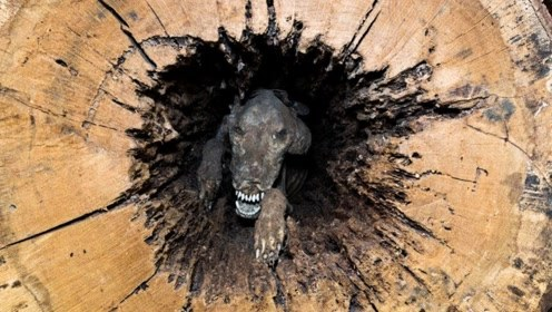 狗被困在树中60年,曾经苦苦挣扎,工人砍树时才被发现!