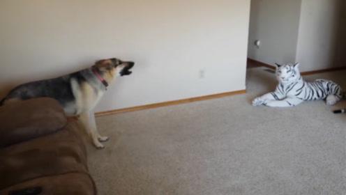 主人放一只假老虎在地上,狗子看到后吓坏了,下一秒出现搞笑的一幕