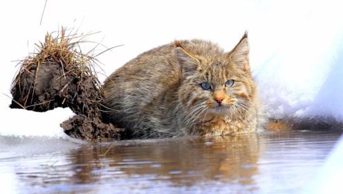超级神秘!青海湖区域首次拍到荒漠猫清晰影像