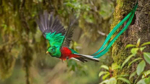 """世界上最像""""凤凰""""的鸟类,地位极高,一身傲骨宁死不屈"""