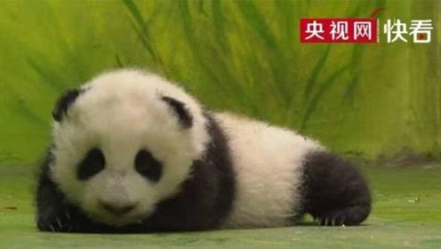 大熊猫宝宝蹒跚学步 走出国宝步伐