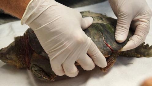 把乌龟从龟壳中取出,还能存活吗?撬开龟壳后有了答案