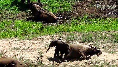 罕见的双胞胎大象生活实录