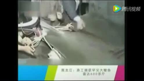 黑龙江惊现600斤古鱼 听说肚子里有120万鱼卵