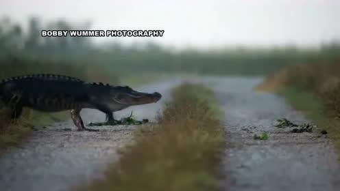 鳄鱼大军的大穿越,简直就像一场盛大的鳄鱼游行!