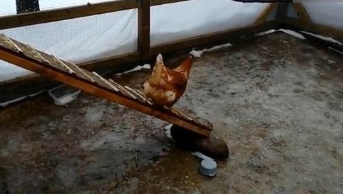 哈哈此时此刻鸡的内心是崩溃的,滑翔鸡就是这样练成的!