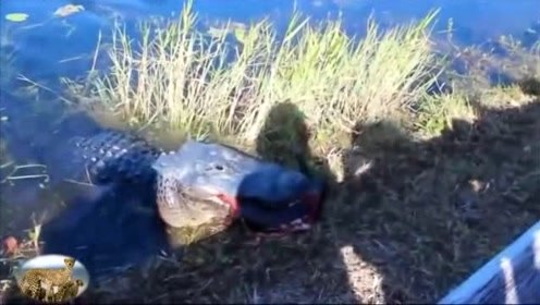 鳄鱼的咬合力有究竟有多可怕,看到了这只乌龟的下场就明白了