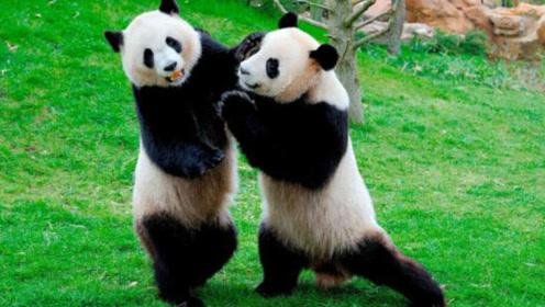 你以为熊猫很可爱?打起架来藏獒都害怕 来看看吧!
