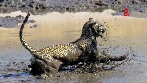 动物世界捕猎能手非它莫属,天上飞的水里游路上跑的它都捕杀