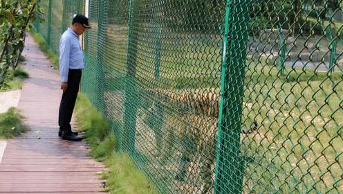 7年养了62只东北虎 他创建了南方最大的野生虎园