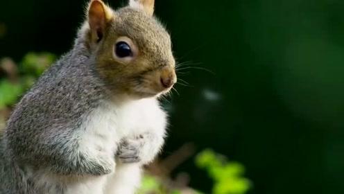 松鼠的骗术,BBC纪录片《荒野间谍》正在上演